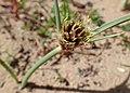 Cyperus capitatus kz01.jpg
