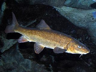 Italian barbel Species of fish