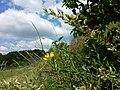 Cytisus procumbens sl42.jpg