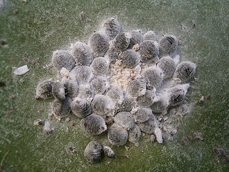 Cochineal - A cluster of females