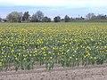 Daffodils - geograph.org.uk - 365993.jpg