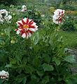Dahlia Cultivar FireAndIce BotGardBln07122011D.jpg