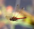 Darter Flying past (6129773043).jpg