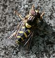 Dasysyrph.albostriatus male.jpg