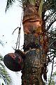 Date Palm Sap Collection - Taki - North 24 Parganas 2015-01-13 4731.JPG