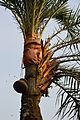 Date Palm Sap Collection - Taki - North 24 Parganas 2015-01-13 4735.JPG