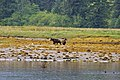 Day 6 Bears - panoramio.jpg