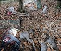 Dead deer along the bicycle path, yesterday (left under corner) and todaay. ravens has eaten some meat. look at the 2 tiny snails - panoramio.jpg