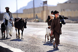 An Afghan boy and his father walk their cattle along a street in Farah City, May 12, 2012.