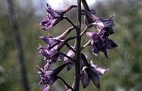 Delphiniumglaucum