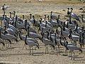 Demoiselle Cranes Grus virgo Porbandar by Dr. Raju Kasambe DSCN5900 (10).jpg