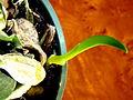 Dendrobium aggregatum majus pullulant.JPG