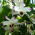 Dendrobium nobile - Flickr - treegrow.jpg