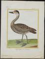 Dendrocygna arborea - 1700-1880 - Print - Iconographia Zoologica - Special Collections University of Amsterdam - UBA01 IZ17600257.tif
