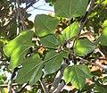 Dendropanax trifidus (leaf s6).jpg