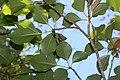 Dendropanax trifidus s2.jpg