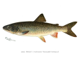 Denton Lake Trout.png