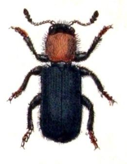 Dermestoides.sanguinicollis.-.calwer.28.14