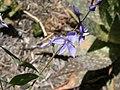 Derwentia perfoliata 4.jpg