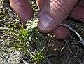 Desert Parsley (white-flowered Lomatium), Greater Sage Grouse Lek Count Near Steens Mountain, April 2016 (26515385314).jpg