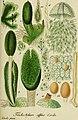 Deutschlands flora in abbildungen nach der natur (1832) (20889514035).jpg