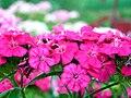 Dianthus barbatus Habenelk 01.jpg
