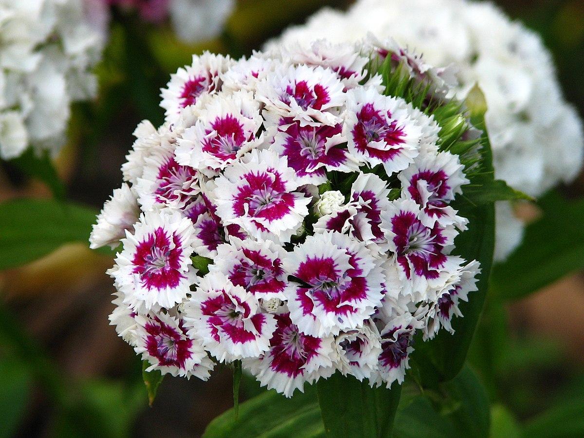 Dianthus Barbatus Wikipedia