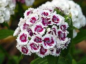Dianthus barbatus - Image: Dianthus barbatus flowers 01