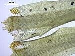 Dicranum fulvum (d, 143220-475506) 3355.JPG