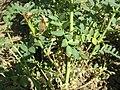 Didymella rabiei (Chickpea ascochyta blight fungus).jpg