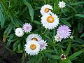 Die Strohblume, lat. Helichrysum bracteatum, Xerochrysum bracteatum, Bracteantha bracteata 19.jpg