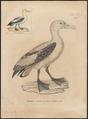 Diomedea brachyura - 1700-1880 - Print - Iconographia Zoologica - Special Collections University of Amsterdam - UBA01 IZ17900148.tif