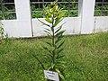 Diospyros ebenum - കരിമരം 01.jpg