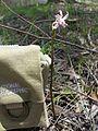 Dipodium punctatum plant1 (8428997452).jpg