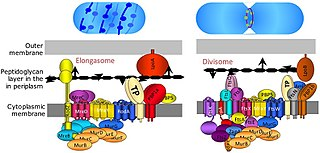 Divisome The divisome is a protein complex in bacteria that is responsible for cell division