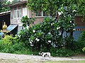 Dog with Flowers and Facade - Ayutthaya - Thailand (34942350765).jpg