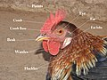 Domestic rooster Gallus gallus domesticus by Dr. Raju Kasambe DSCN5041 (5).jpg