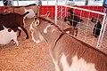 Donkey (5629792719).jpg