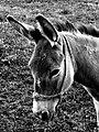 Donkey LJ.jpg