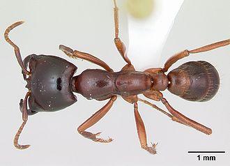 Dorylinae - D. gribodoi