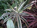 Dracaena broad leaved from lalbagh 2211.JPG