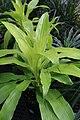 Dracaena deremensis 1zz.jpg