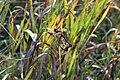 Dragonflies mating (15144641897).jpg