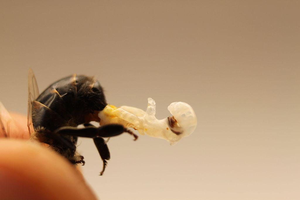Drone honey bee reproductive organ