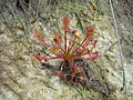 Drosera intermedia on Ashdown Forest.jpg