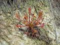 Drosera intermedia on Ashdown Forest.jpg