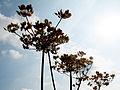 Dry plants (3989917804).jpg