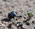 Dung beetle, Hantam NBG, August 2011.jpg