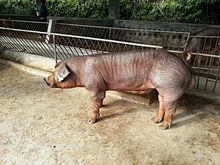 Duroc Boar at 7 Months - 1.jpg