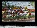 ETH-BIB-Chrysanthemen, Palmengarten, Frankfurt am Main-Dia 247-02465.tif